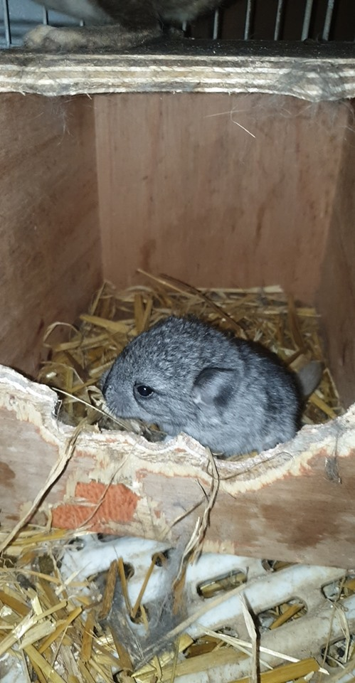 Busy day in the maternity ward today lol… Wilma decided to bless us with a mini Wilma. (it's a chinchilla)