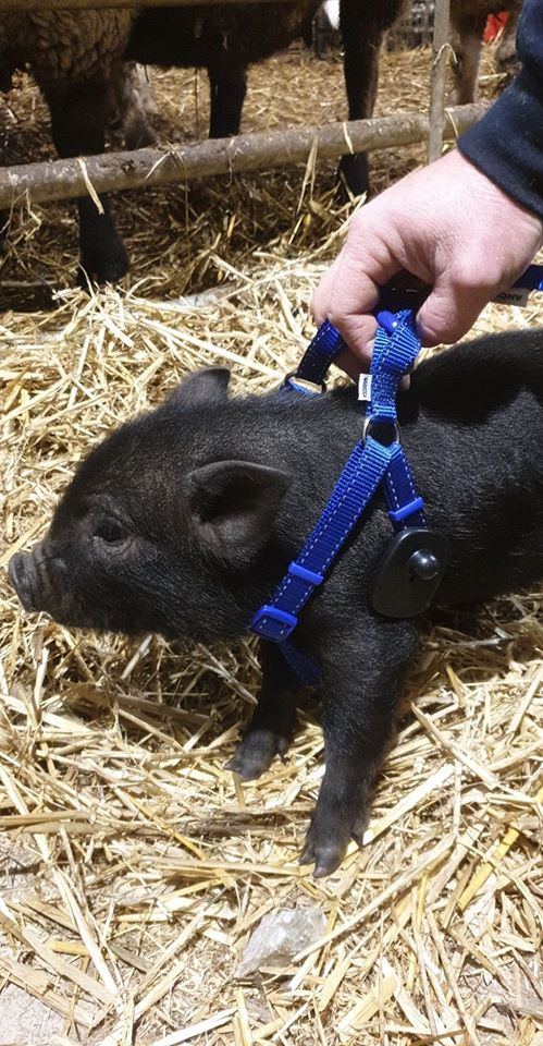 What time is curfew for a tagged pig!! 🕢🔖👮♂️Ignore me if you see me running down Strand road towards police barracks 🚓🚔 to get this pig tag removed lol… I have me receipt💵…. promise..🐖🐖