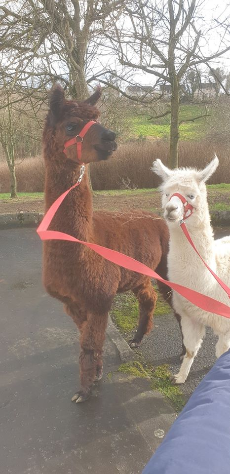 So today inbetween some brilliant parties we were invited to bring along Bruno and Princess to see another special birthday lady who just loves Alpacas. 🦙🦙 Happy birthday Muriel.