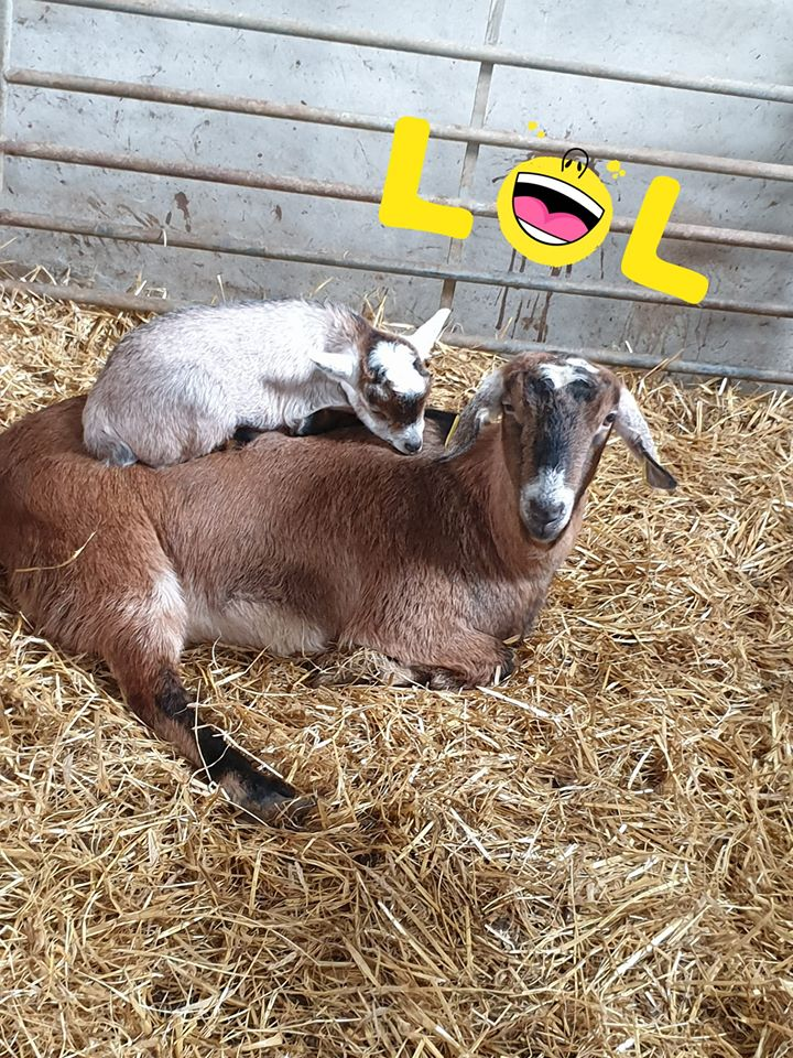 Read more about the article Trying to amuse themselves today – piggy back from mum🐐🐐