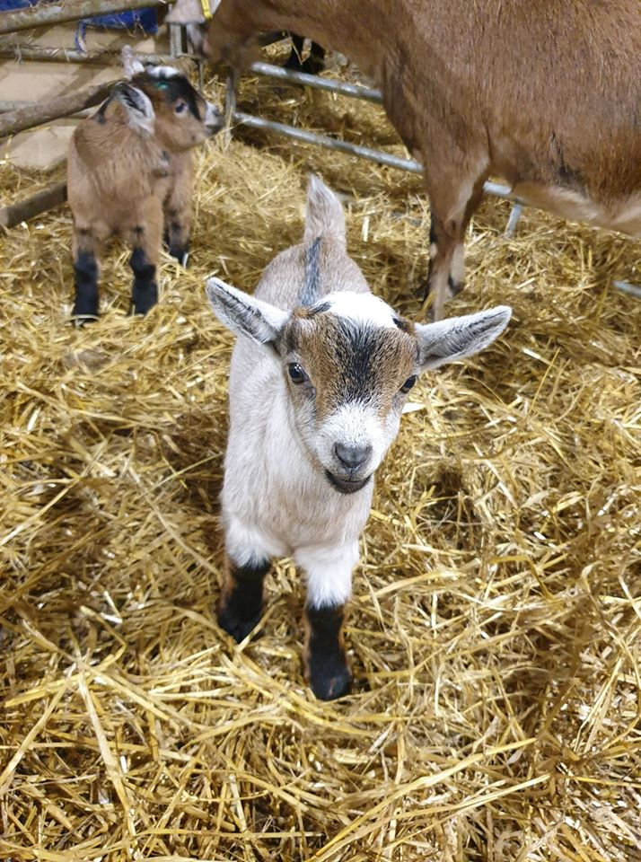 Read more about the article It's not all doom and gloom…. This wee face would bring a smile to anyones face🐐❤