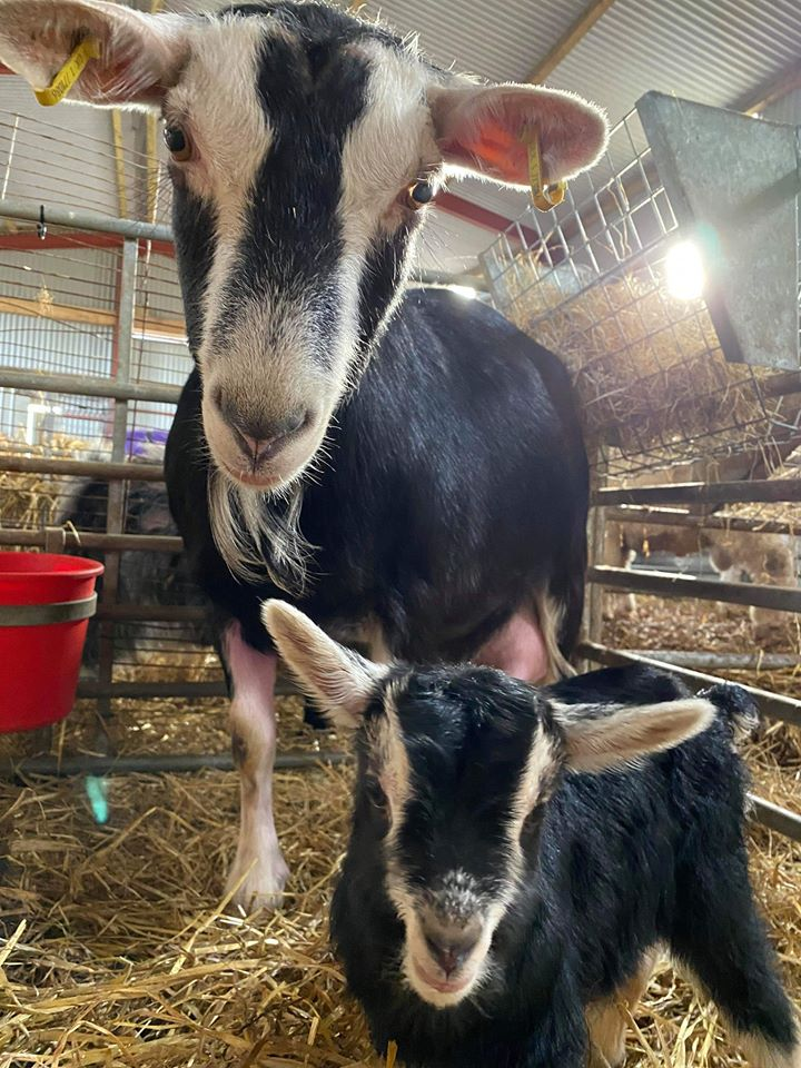 Read more about the article Great! Another hungry mouth to feed during this time. But an extremly cute one at that..🐐🐐 Penny decided to grace us with this wee cutie last night.😊