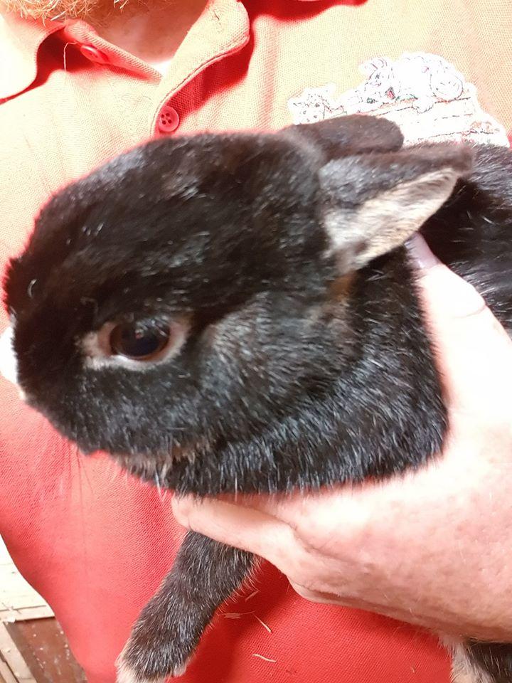 New Arrival – Baby Netherland Dwarf Rabbit