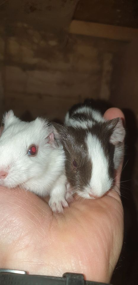 New Arrival – Baby Guinea Pigs!