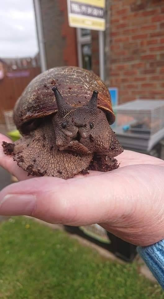 The best pic I've ever seen of Gary… one of our Giant African Land Snails.🐌🐌 Hes even smiling for the camera.🙂
