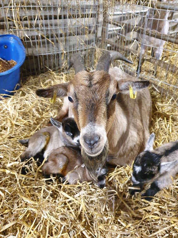 New Arrivals – Baby Pygmy Goats!