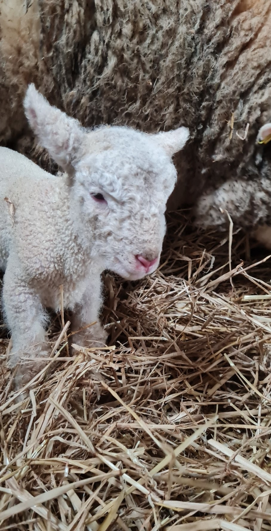 A brilliant day to become a new mammy. Twins! 🐑🐑🥰