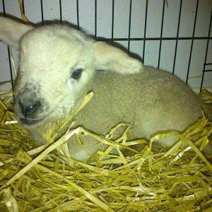Lambie.jpg